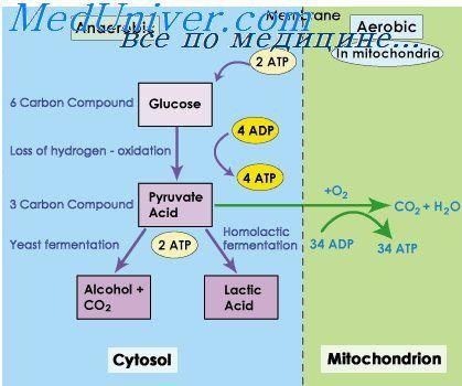 Анаэробный путь получения глюкозы. Кислородная задолженность