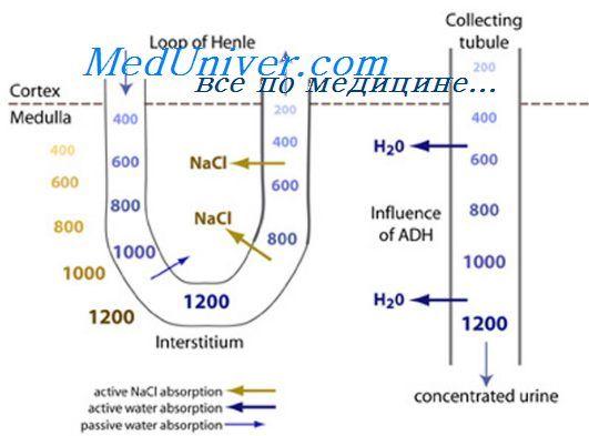 Otolitových membrána. Funkce otolitových membrány