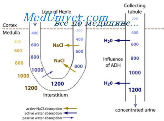 Otolita membrana. Funkcije otolita membrane