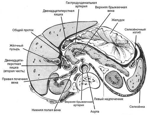 Топографска анатомија на панкреасот