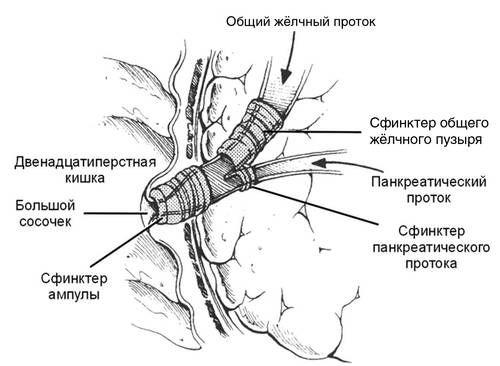 Структурата на сфинктер на Oddi