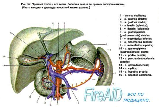 Гранките на абдоминалната аорта. Неспарени висцералните гранки: трупот на целијачна (трункус coeliacus).