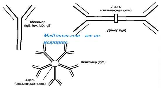 Аутосомно-рецессивный синдром гиперпродукции иммуноглобулина м (igm). Мутация гена aid