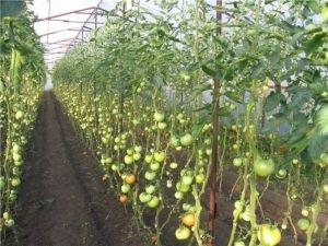 Штетници и култура болести во оранжериите