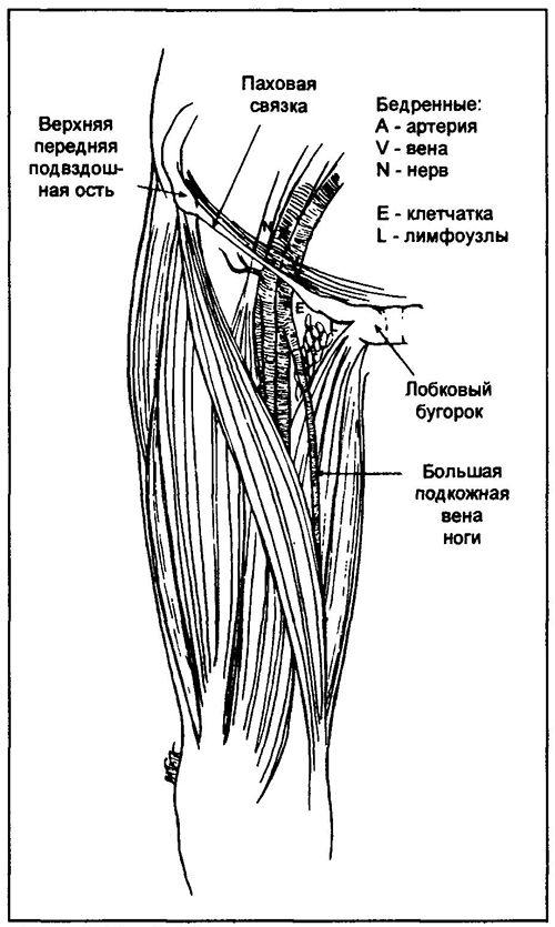 Nahmatejte femorální puls v bodě ve středu pomyslné úseku mezi horní, přední kyčelní páteře a spony stydké. Vídeň stehno je paralelně a mediálně do tepny