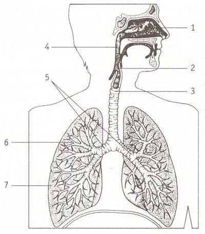 Что отвечает за очищение и дренаж дыхательной системы