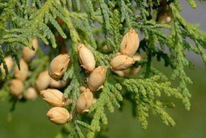 Цветни и плодни на arborvitae, растот и развојот на пука и корени arborvitae, еколошки карактеристики