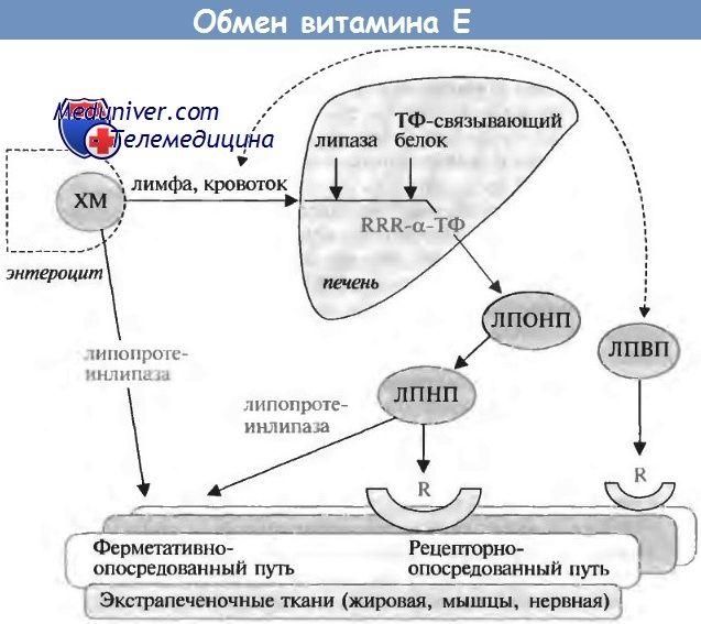 Физиологија на метаболизмот на витамин Е и неговите ефекти