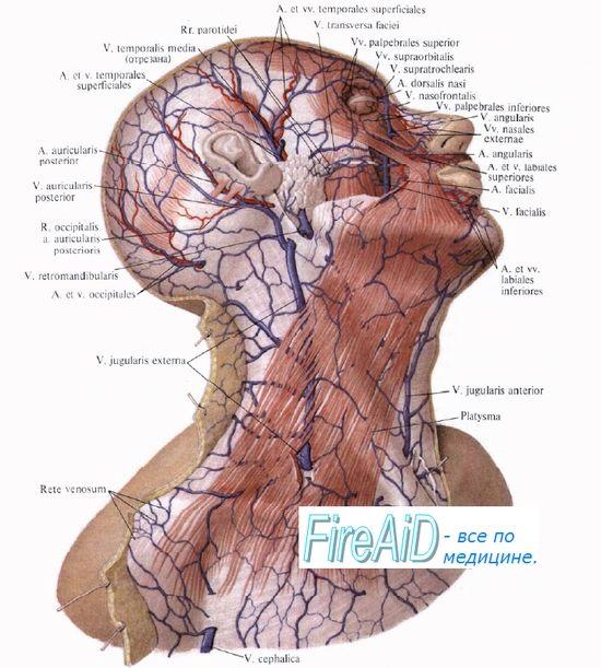 Перфузијата clyunoy жлезда (плунка жлезди). Снабдувањето со крв на панкреасот. Регулирање на протокот на крв во крвните садови на жлездите.