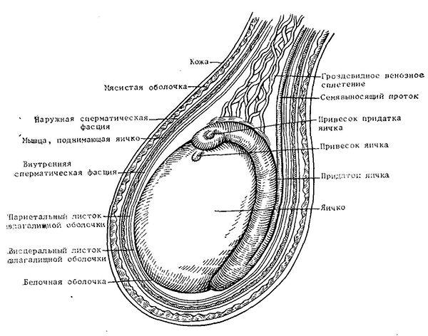 Structura anatomică a scrot