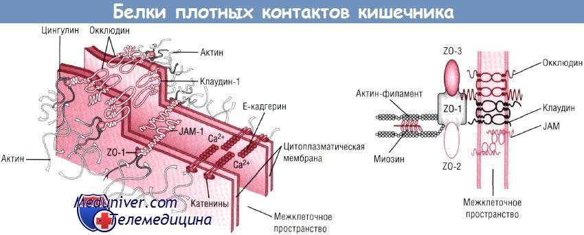 Патогенез язвенного некротизирующего энтероколита (янэк)