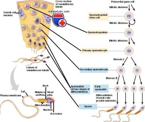 Формирование сперматозоидов. Сперматоцитогенез и спермиогенез