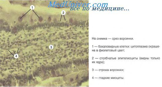 Colon Histologie