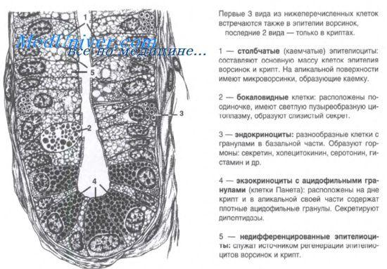Histologie tenkého střeva - krypta epitel