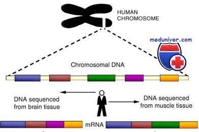 Гены и хромосомы человека. Строение
