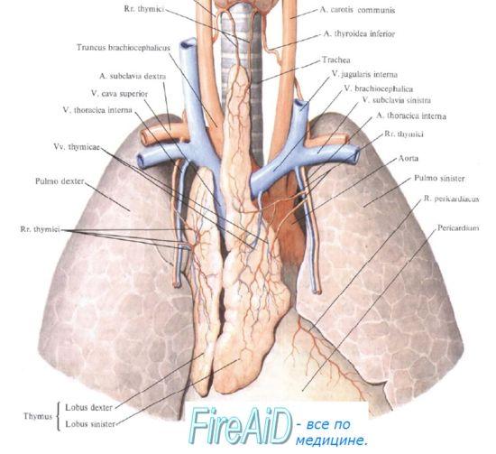 Mechanoreceptors. Механорецепторска контрола на дишење. Рецепторите на белите дробови. Рецептори reuliruyuschie здив.