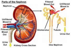 Glomerulonefritis, Treatment, Simptomi, Uzroci
