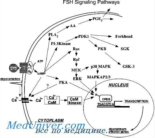Гонадотропиновые рецепторы. Строение и функция