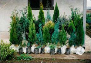 Зимзелени дрвја и грмушки