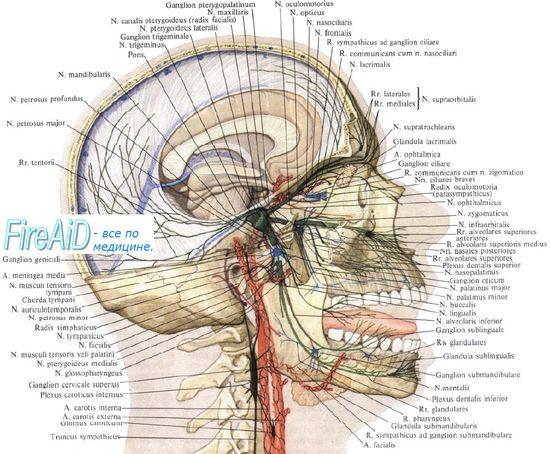 Anatomia nervului trigemen