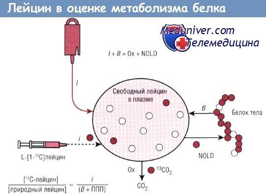 Користење на леуцин, фенилаланин метаболизмот на протеини за да се процени
