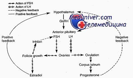 Яичник как эндокринный орган. Двухклеточная теория