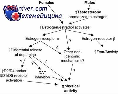 Яичниковый стероидогенез. Теория двух клеток двух гонадотропинов