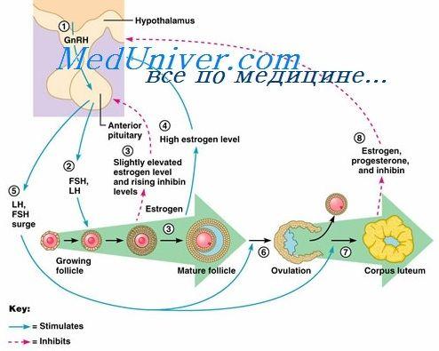 Эндокринология яичника. Женские стероиды