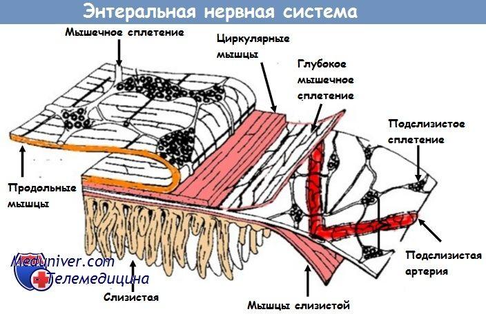 Функция энтеральной нервной системы у новорожденных детей