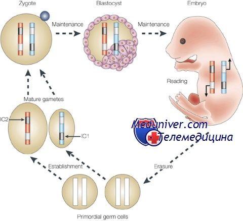 Эпигенетическая регуляция ооцита. Геномный импринтинг
