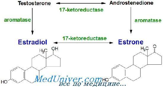 Эстрогены синтез, метаболизм. Эстрогеновые рецепторы