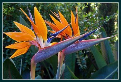 Јужна Европа (Медитеранот) видови на украсни егзотични растенија