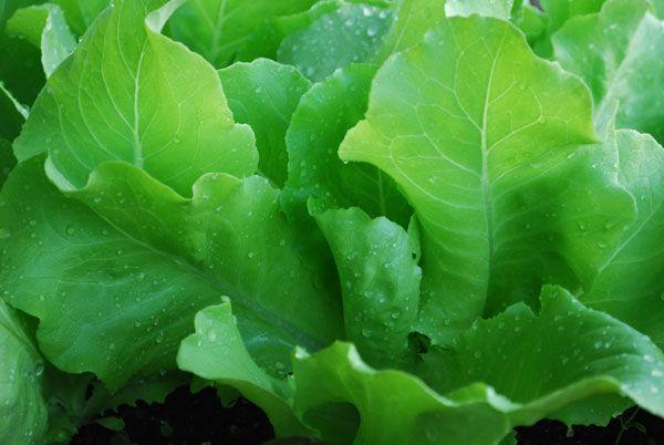Зелена салата со панкреатитис