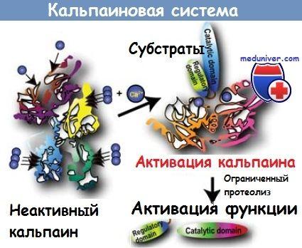 Кальпаиновая система расщепления белка