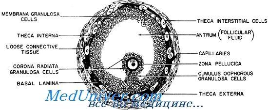 Клетките oviparous тумба со зрачење круна фоликуло. И конексин јазот крстосница