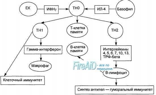 На активирање на Т и Б лимфоцитите во имунолошкиот одговор. Активирање на лимфоцитите. Формира специфични имунолошки одговор.