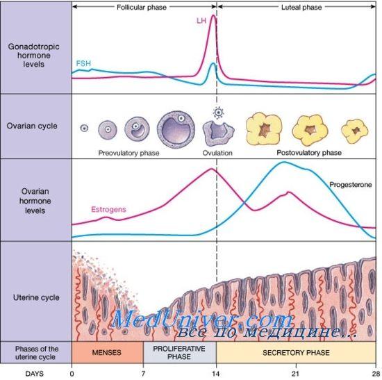 Лютеиновая фаза менструального цикла. Регуляция