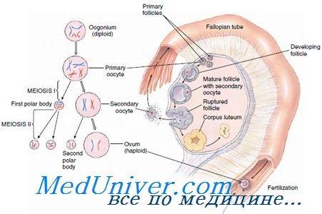 Механизмы задержки и возобновления мейоза в ооците