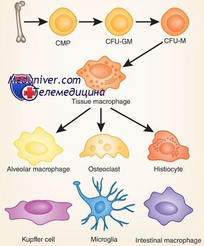 Мононуклеары: моноциты и макрофаги