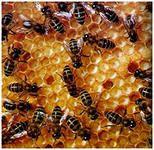 Можно ли есть мед при панкреатите (болезни поджелудочной железы)?