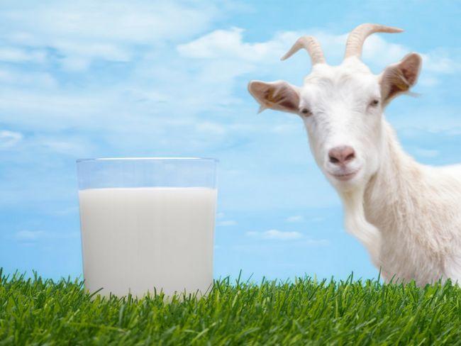 Лечение панкреатита козьим молоком