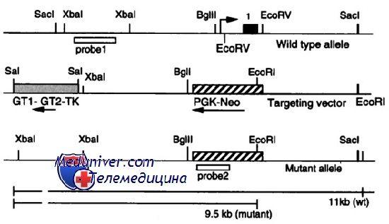 Мутации гонадотропиновых рецепторов. Аномалии рецепторов лг и фсг
