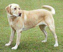 Некроза на панкреасот кај кучиња - pancreatonecrosis
