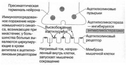 sinapsă neuromusculară