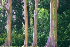 За прекурсори постојните дрвја