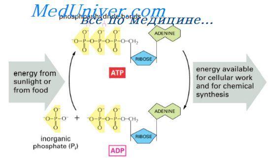 Роль адф в использовании энергии. Интенсивность метаболизма в клетках