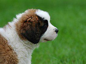 Акутен и хроничен панкреатит кај кучиња: третман