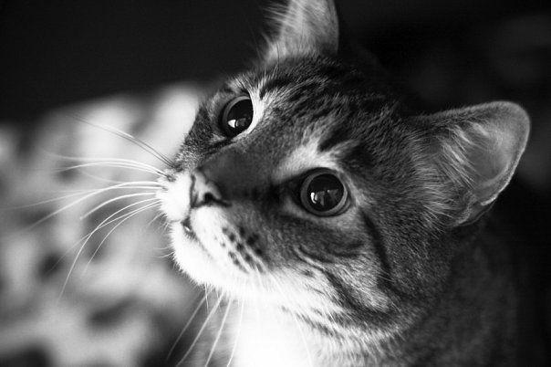 Feline панкреатитис: мачка, мачки, мачиња