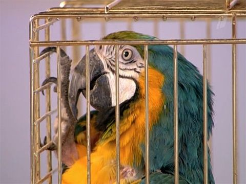 Панкреатит е папагал
