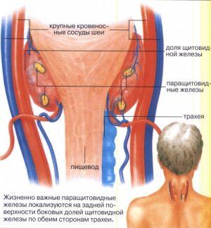 Fiziopatologia glandelor paratiroide